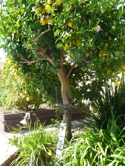 Lemon tree very pretty…