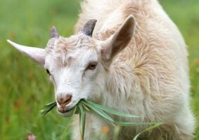 Goats as access to peace in quarantine times